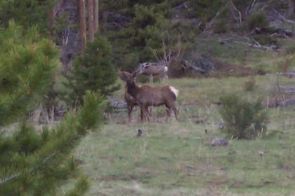 Elk and Deer feeding