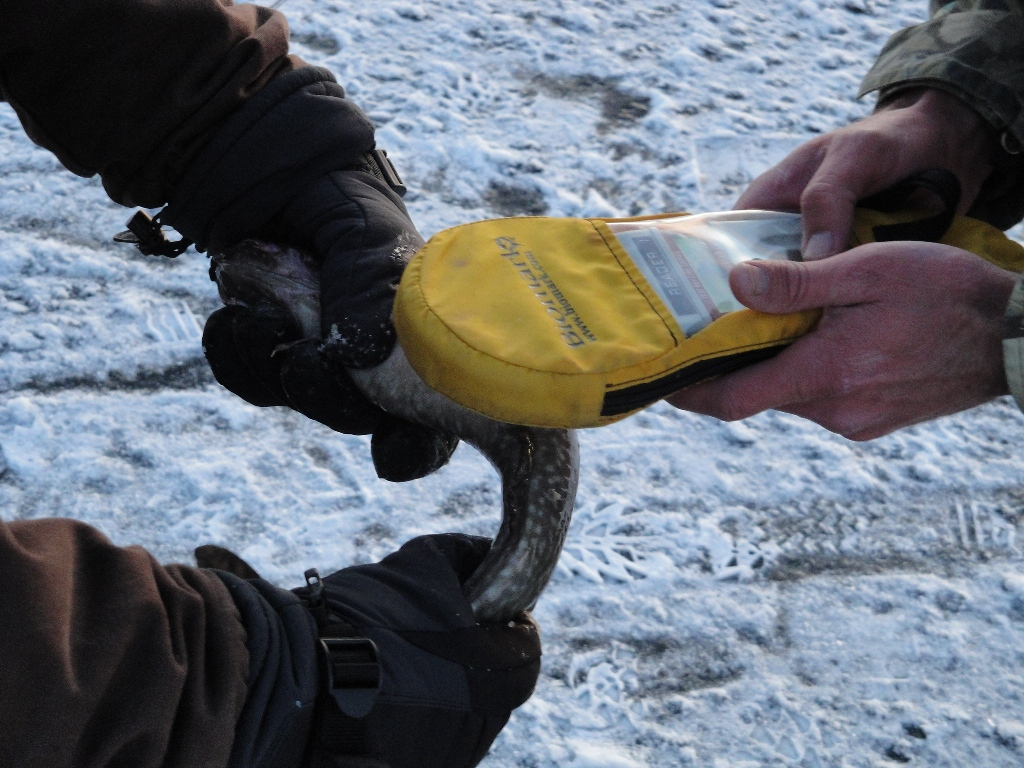 Utah DWR and Wyoming Game and Fish personnel and volunteers tagged over 500 fish and then verified the tags were working.